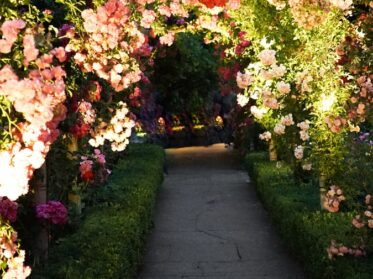 gray concrete pathway surrounded with pink and white flowers